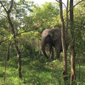 Image of an elephant wandering through trees
